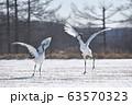 タンチョウのダンス(北海道・鶴居) 63570323