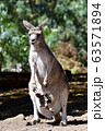 43488 母カンガルーのお腹に入った子供 タスマニア オーストラリア 63571894