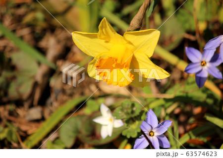 杉並区の遊歩道に咲いている喇叭水仙 63574623