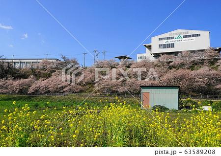 3月 南足柄19一の堰ハラネ春めき桜(早咲き) 63589208