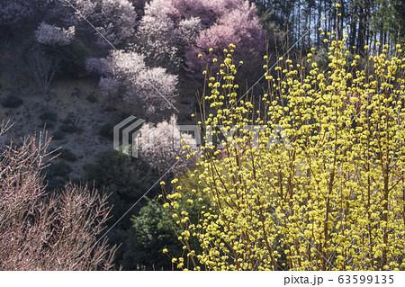 埼玉県 /斜面のサクラを背景にサンシュの花 63599135