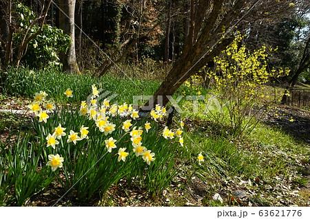 3月 栃木45水仙とレンギョウ・花之江の郷 63621776