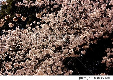 妙正寺公園の池の傍に咲いている満開のソメイヨシノ(2) 63635486