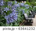 アガパンサス咲く初夏の公園 63641232