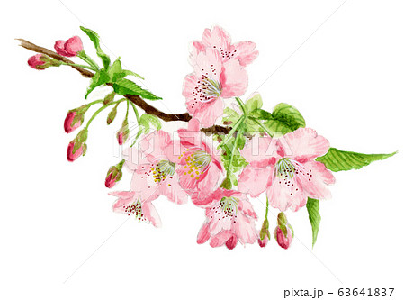水彩で描いた河津桜の枝 63641837
