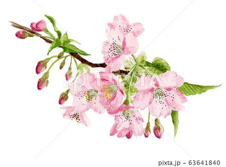 水彩で描いた河津桜の枝 63641840