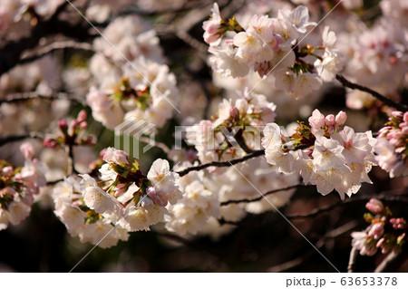 福蔵院境内に咲く白いシダレザクラの花びら(6) 63653378