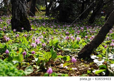 3月 城山町39カタクリの群落自生地・城山かたくりの里 63659403
