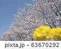 さくら 4K サクラ 桜 青空 咲く 春 春分 4月 入学 卒業 3月 ソメイヨシノ 63670292