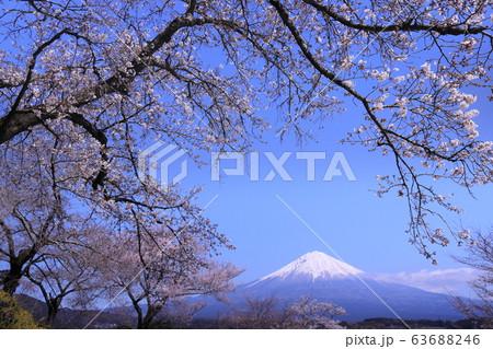 咲き始めた淡い桜の間に見えた富士山 63688246