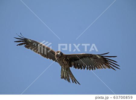 獲物を狙う鳥 63700859