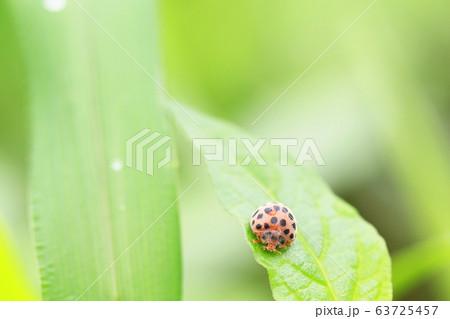 雑草の上で餌を探すテントウムシ 63725457