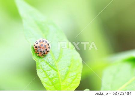 雑草の上で餌を探すテントウムシ 63725484