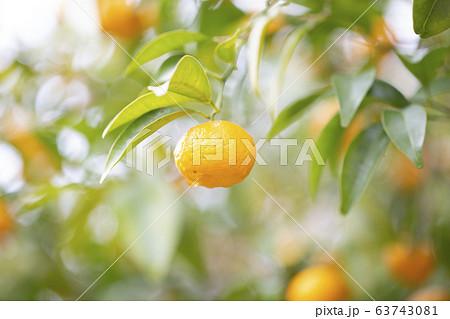 タチバナ/ミカン/都市緑化植物園の写真素材 [63743081] - PIXTA