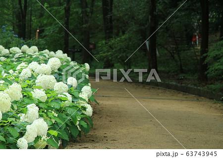 アナベル(アジサイ)が咲く神戸市立森林植物園 63743945