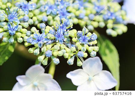 クローズアップしたガクアジサイの花 梅雨の花 63757416