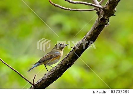 グリーンバックの枝でくつろぐルリビタキメス 63757595
