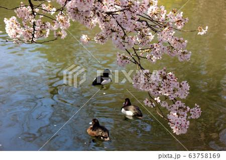 春になった武蔵関公園の池をのんびり泳ぐ鴨たち(3) 63758169