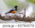Mocking Cliff Chat in Ethiopia, Africa wildlife 63764579