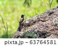 bird common bulbul Ethiopia Africa safari wildlife 63764581