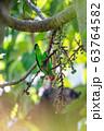bird black-winged lovebird, thiopia Africa 63764582