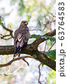 Black kite, Ethiopia safari wildlife 63764583