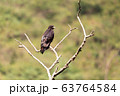 bird of prey Augur buzzard Ethiopia Africa 63764584