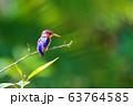 ird African pygmy kingfisher, Ethiopia Africa 63764585