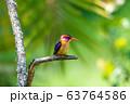ird African pygmy kingfisher, Ethiopia Africa 63764586