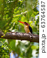 ird African pygmy kingfisher, Ethiopia Africa 63764587
