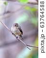 African dusky flycatcher, Ethiopia Africa wildlife 63764588