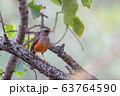 bird Abyssinian thrush, Ethiopia, Africa wildlife 63764590