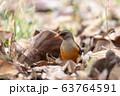 bird Abyssinian thrush, Ethiopia, Africa wildlife 63764591