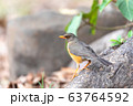 bird Abyssinian thrush, Ethiopia, Africa wildlife 63764592