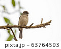 bird Abyssinian slaty flycatcher, Ethiopia, 63764593