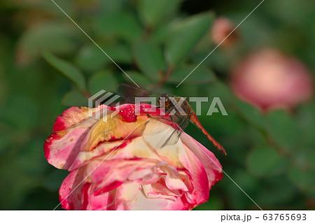 秋の日中にバラ園の薔薇に泊まった赤とんぼ 63765693