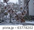 桜に雪が降る 都市 63778202