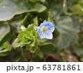 オオイヌノフグリ 63781861