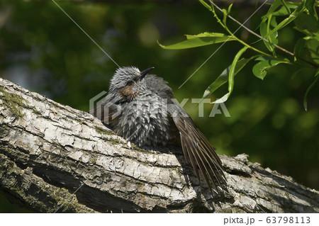 樹上で翼を広げて日光浴するヒヨドリ 63798113