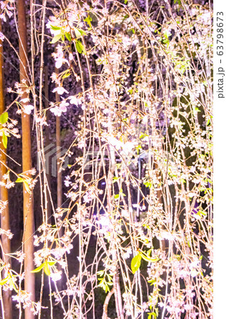 三重県大紀町の枝垂れ桜の夜間ライトアップ 63798673