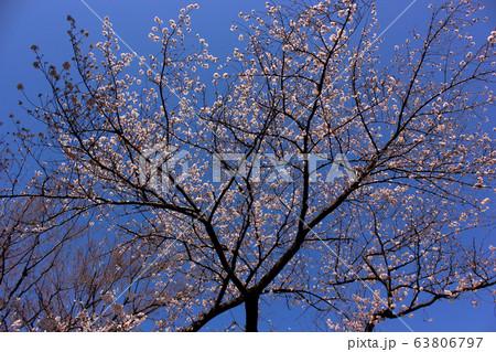 快晴の青空と満開になった新井薬師の桜(2) 63806797
