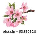 sakura20331pix7 63850328