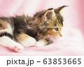 メインクーンの仔猫の横顔 63853665