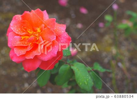 バラの花・クローズアップ・オレンジ 63880534