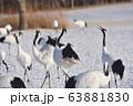 群れの中で鳴きかわす丹頂鶴(北海道・鶴居) 63881830