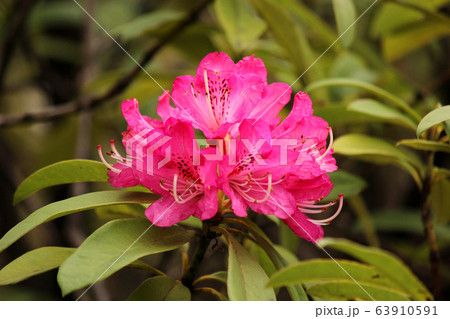 幾つもの花が寄り添って咲くシャクナゲ(5) 63910591
