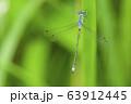 アオイトトンボ 63912445