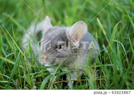 Little gray chinchilla walks on the street on 63923867