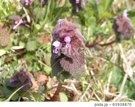 花が踊り子に見えるというヒメオドリコソウの花 63938870