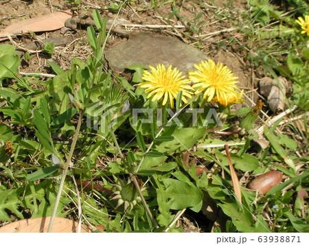 綺麗な黄色い花はタンポポの花 63938871